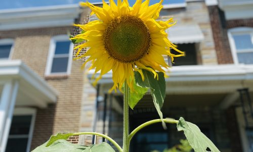 Sunflower in front of brick homes